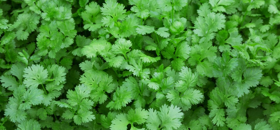 Így termesszük az intenzív illatú koriandert