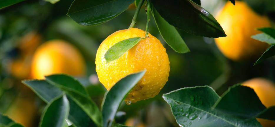 Mediterrán hangulatban: a citrom termesztése