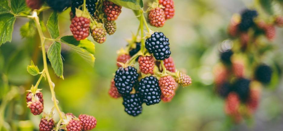 A legmagasabb antioxidáns tartalmú bogyósok a kertben