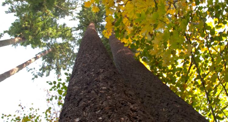 Magyarország legmagasabb fája