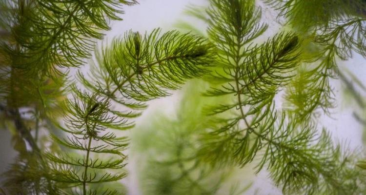4 oxigéntermelő vízi növény kerti tavakba
