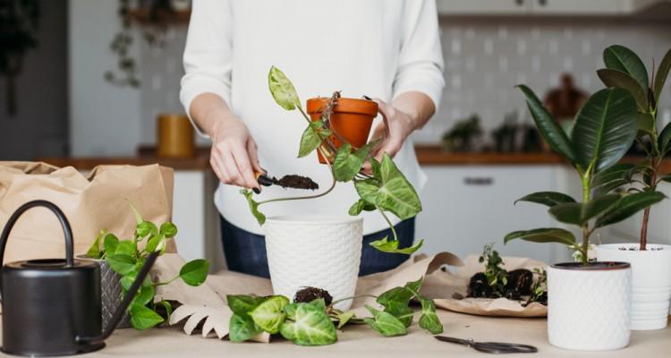 A szobanövények tavaszi átültetése