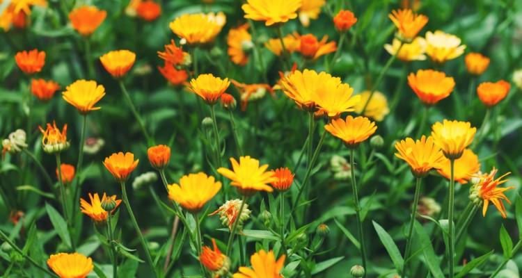 Díszít és gyógyít: a körömvirág termesztése