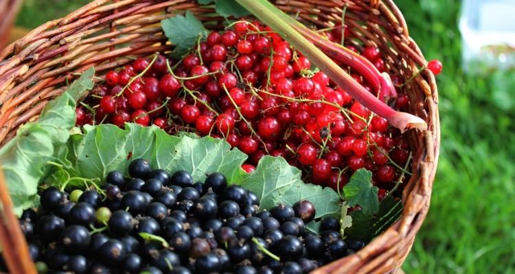 Vitaminbombák a kertben: a piros- és a fekete ribiszke termesztése