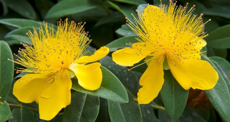 Pompás megjelenésű, sárga virágaival díszít a kertben az orbáncfű