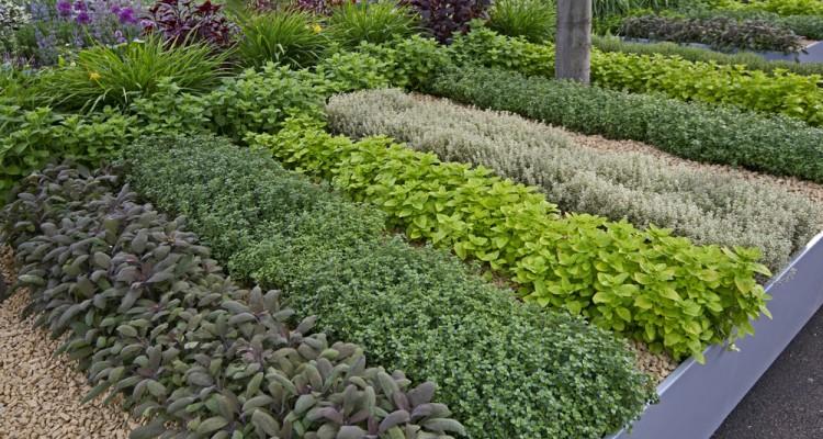 5+1 illatos fűszernövény szabadföldi termesztése