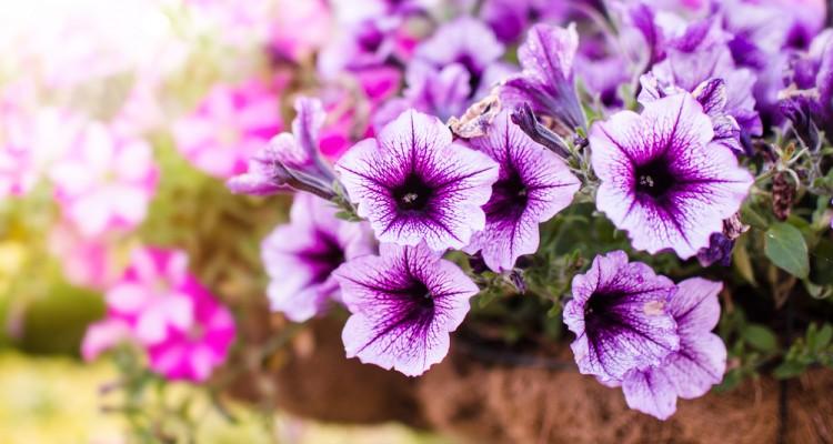 Ültessünk egynyári dísznövényeket