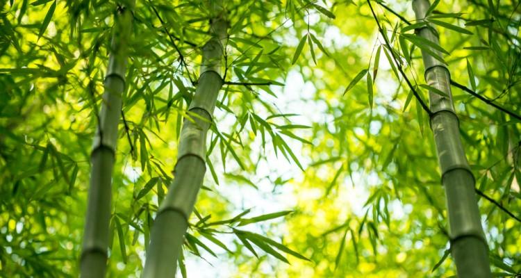 A bambusz ültetése