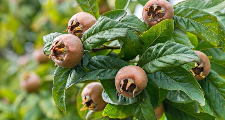 A tél szezonális vitaminforrása: naspolyafát a kertbe!