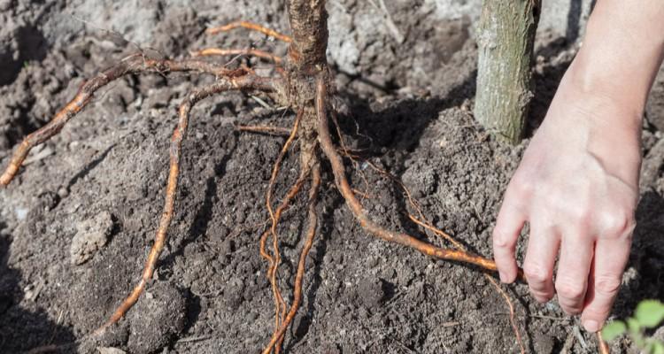5+1 tipp a díszfák sikeres őszi ültetéséhez