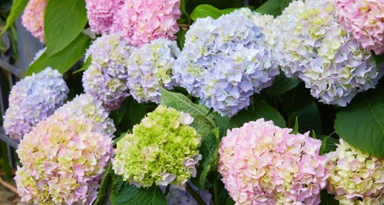 A sokszínű hortenziák legszebb fajtái