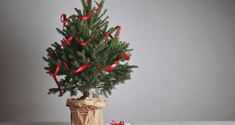 Karácsonyfa mustra: 7+1 impozáns megjelenésű fenyő