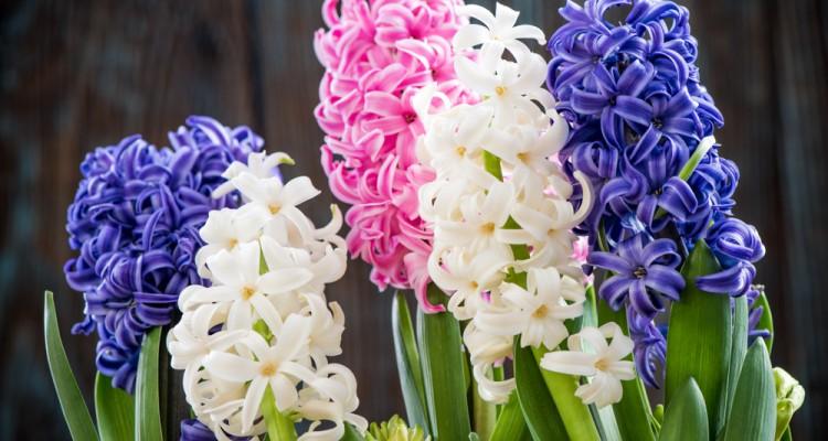 5 tavaszhívogató, cserépben nevelhető virág