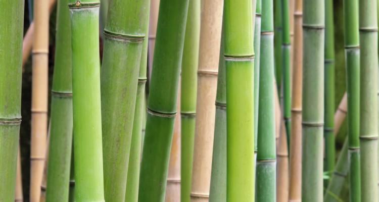 Izgalmas bambuszfajták