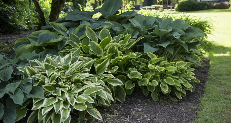 Különleges árnyékliliomok a kert árnyékos részeibe