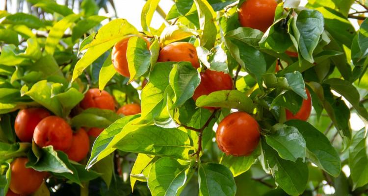 A vitaminokban gazdag datolyaszilva ültetése
