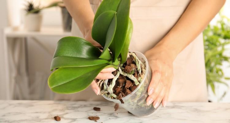 Az lepkeorchideák átültetése